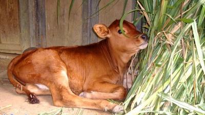 Setujukah BUMN harus buka peternakan sapi di Australia? | Kaskus - The ...