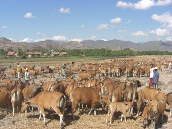 ladang-peternakan-sapi